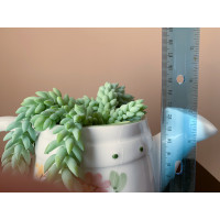 Donkey Tail (Burro's Tail) Sedum Plant #4 Succulents