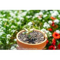 Echeveria agavoides - Succulents Plant