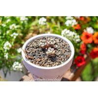Graptopetalum 'Ellen' - Succulents Plant