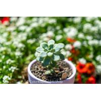 Sedum clavatum 'Loire' - Succulents Plant