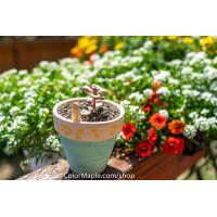 Graptopetalum Sp Ellen - Succulents Plant